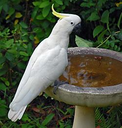 sulphur_crested_cockatoo_birdbath_250